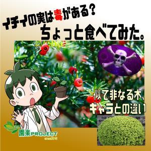 イチイの実は毒がある?ちょっと食べてみた。似て非なる木、キャラとの違い