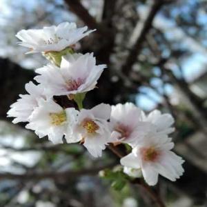 俳句は言霊42「十月桜(四季桜)」
