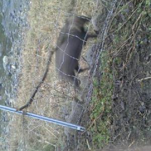 ノリ網に 鹿が掛かって・・もがいてた