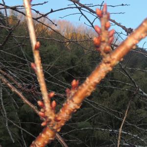 1月末の寒中なのに 八重桜の蕾が膨らんでました