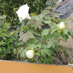(ぼたん・ボタン)牡丹 が咲きました