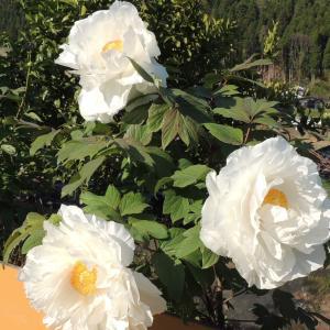トライアングル のように咲く「大輪の牡丹」です