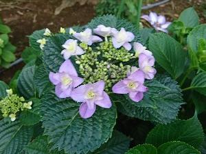 色づく紫陽花