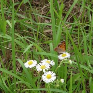 スマホで蝶を撮る