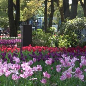 横浜公園のチューリップ見頃でした。