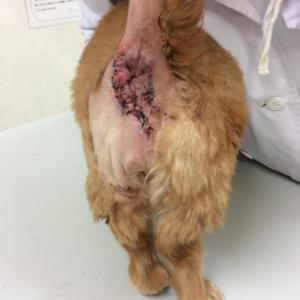 お尻周りの腫瘍(犬)