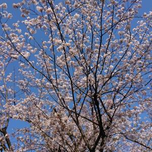 早朝の公園と桜とシーソー