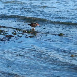 Black oystercatcher(クロミヤコドリ)