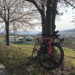 中野市桜探訪