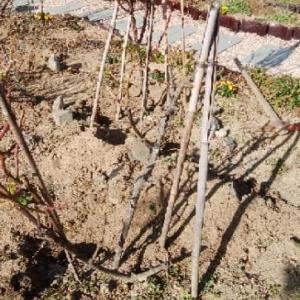 バラの寒肥と剪定