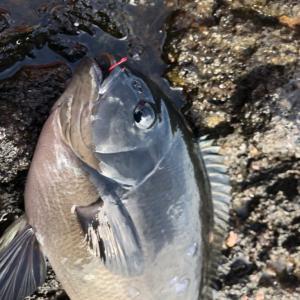 【釣行記】伊豆半島 河津 大の浦 メジナ釣り