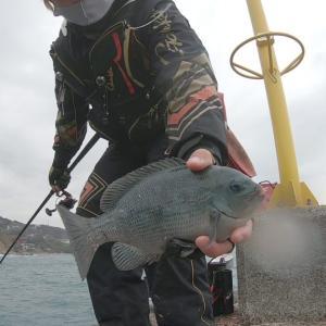 前日の消化不良(内容もコマセも)を解消・消費する為、江之浦漁港でフカセ釣り!しかし爆風&極寒の雨で次々に帰っていく釣り人達・・。それでもメジナを釣りに行く!