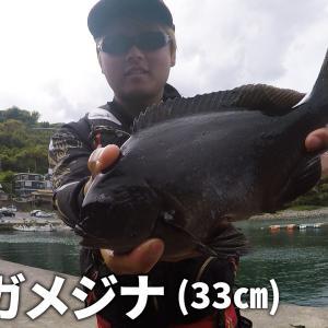 4月の江之浦漁港でのっこみクロダイ狙いでフカセ釣り!!最後1時間だけ浮気してメジナ釣りしたら最高だった!