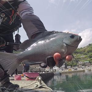5月、小鯖地獄シーズンでも安定メジナ釣果あり!!江之浦漁港でフカセ釣り