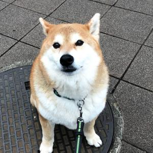 柴犬好きだった志村けんさん
