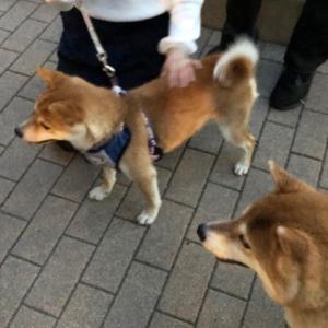 新しい柴犬の仲間が増えました!