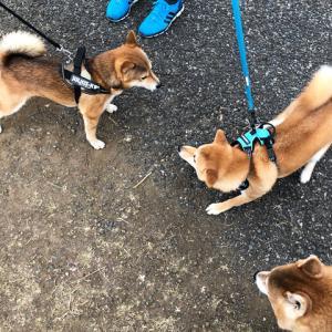 柴犬、3頭が集まれば…