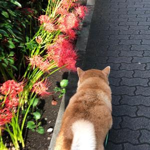 彼岸花が咲きました。台風が心配ですが…