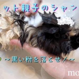 モルモットの黒い粉・モルモット親子のシャンプー「黒い粉を落とせ!」