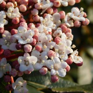 ビバーナムが今年は咲いた!