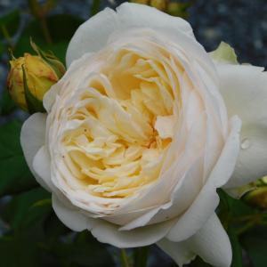 クレアオースチンが開花!