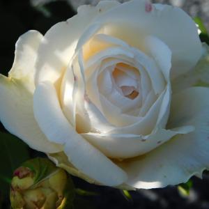 まだまだ咲いてる我が家の薔薇