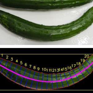 キュウリの曲がり具合を画像処理でみてみる(2) 幅と長さを測る