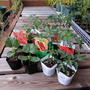 野菜苗植え付け