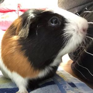ペットを買うなら?犬 猫 ハムスター ウサギ…【【モルモット】】?!!!
