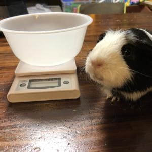 モモちゃんルルちゃんの体重測定♪新しい小屋になって痩せたかな??