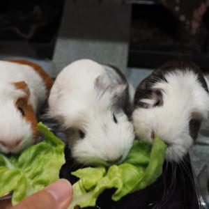 サラダ菜モグモグモルモット♪