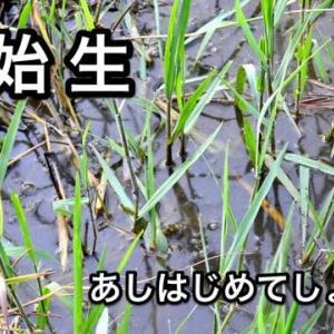 葭始生(穀雨初候)