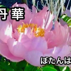 牡丹華(穀雨末候)