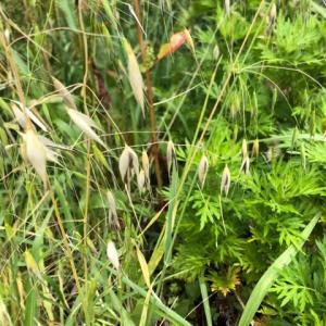 植物の知恵!カラスムギの種蒔き!!