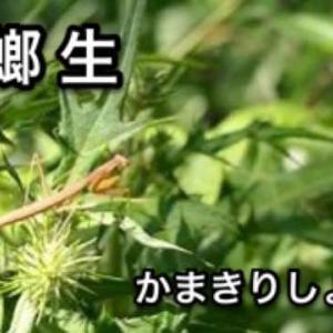 蟷螂生(芒種初候)