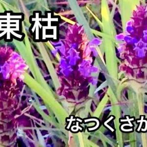 乃東枯(夏至初候)