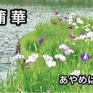 菖蒲華(夏至次候)