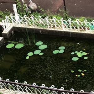 種から育てる大賀ハス〜2年目秋〜