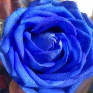 青いバラの生花、一足早い父の日