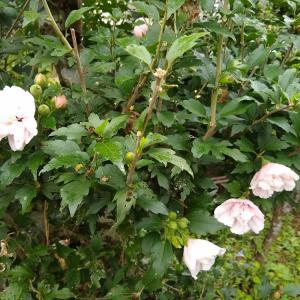 庭の花(2020年9月下旬)