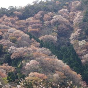 若狭町の常神半島を歩く〜神子の山桜が満開〜