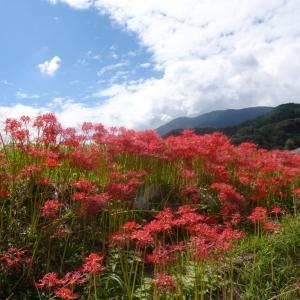 必見!奈良の「彼岸花名所」・真っ赤に燃えるかつらぎ古道〜大和ウォーキング協会例会