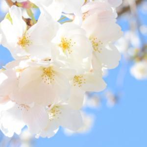 美しい桜ことば٭❀*