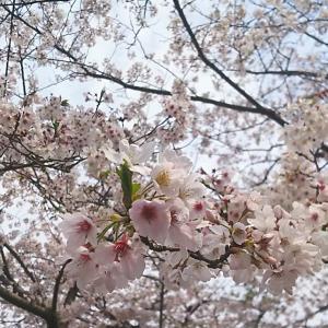 七ツ釜鍾乳洞の桜