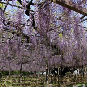 藤棚|玉敷神社