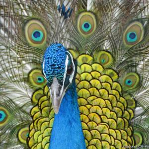 孔雀の告白💙