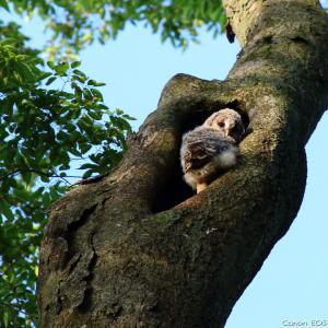 フクロウ・雛の巣立ち|野木神社