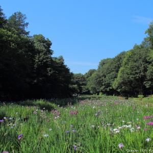 花菖蒲 2020|智光山公園