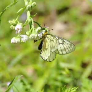 ウスバシロチョウ|蝶の里公園