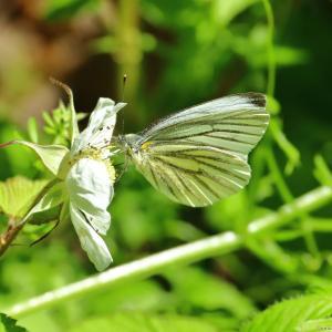 スジグロシロチョウ、他|蝶の里公園